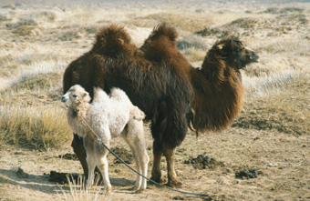 Story of the Weeping Camel, The